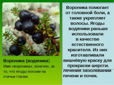 Вороника (водяника) Имя «вороника», конечно, за то, что ягоды похожи на птичь...