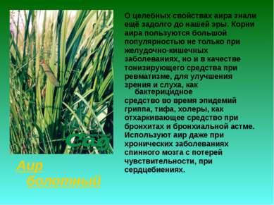 Аир болотный О целебных свойствах аира знали ещё задолго до нашей эры. Корни ...