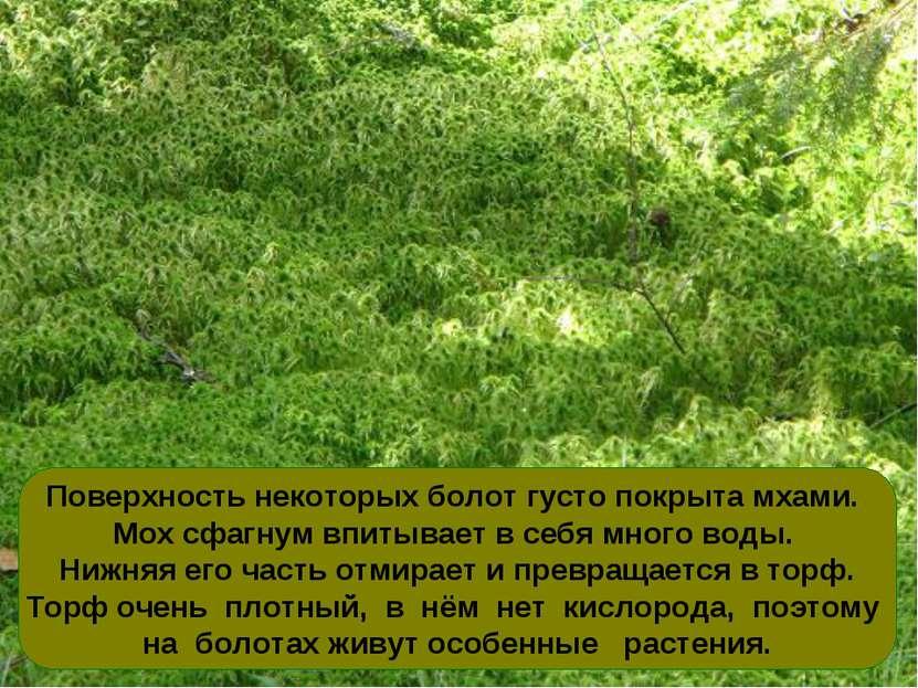 Поверхность некоторых болот густо покрыта мхами. Мох сфагнум впитывает в себя...