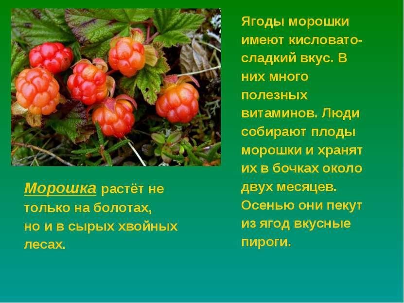 Морошка растёт не только на болотах, но и в сырых хвойных лесах. Ягоды морошк...