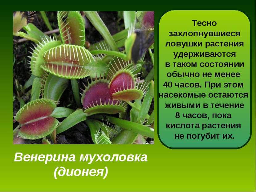 Венерина мухоловка (дионея) Дионея - одно из самых интересных насекомоядных р...
