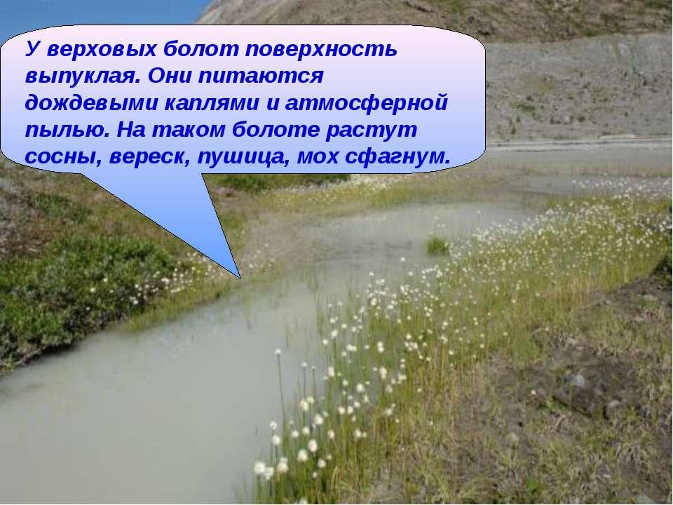 У верховых болот поверхность выпуклая. Они питаются дождевыми каплями и атмос...