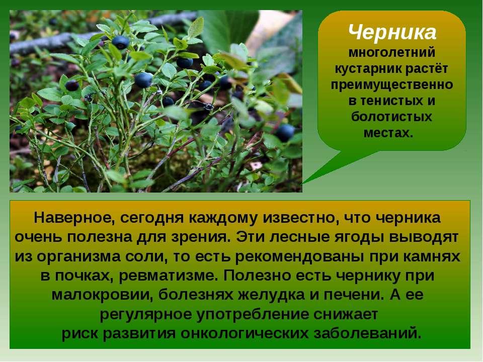 Черника многолетний кустарник растёт преимущественно в тенистых и болотистых ...