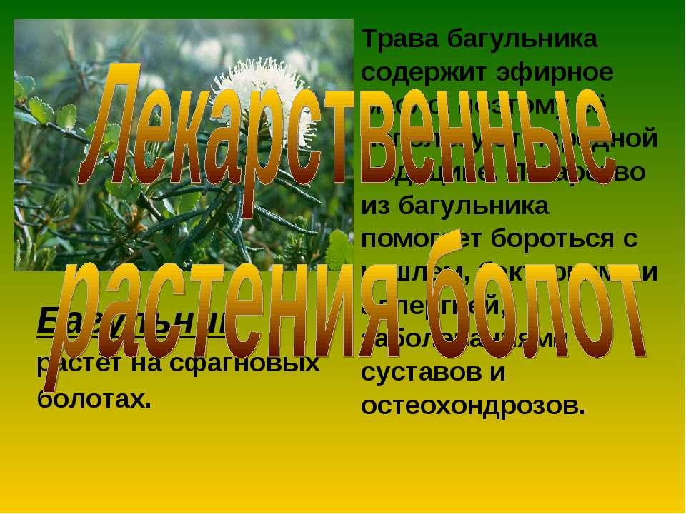 Багульник растёт на сфагновых болотах. Трава багульника содержит эфирное масл...