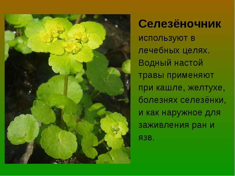Селезёночник используют в лечебных целях. Водный настой травы применяют при к...