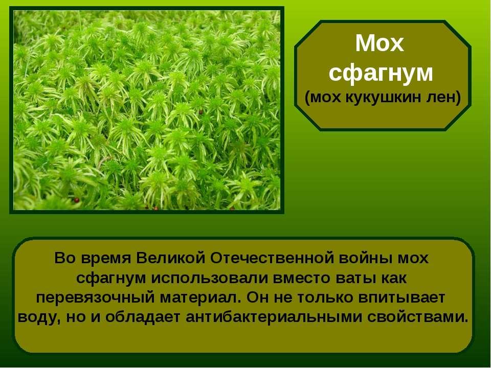 Мох сфагнум (мох кукушкин лен) Во время Великой Отечественной войны мох сфагн...