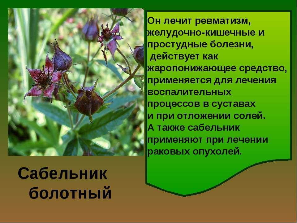 Сабельник болотный Лекарственным сырьем у сабельника является всё растение: л...