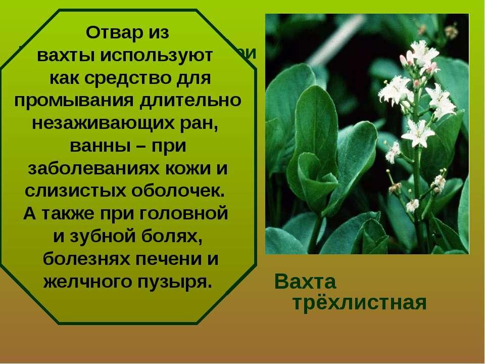 Растение применяют при простудных заболеваниях и туберкулезе легких, заболева...