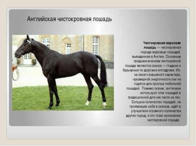 Чистокровная верховая лошадь—чистокровная породаверховых лошадей, выведенн...