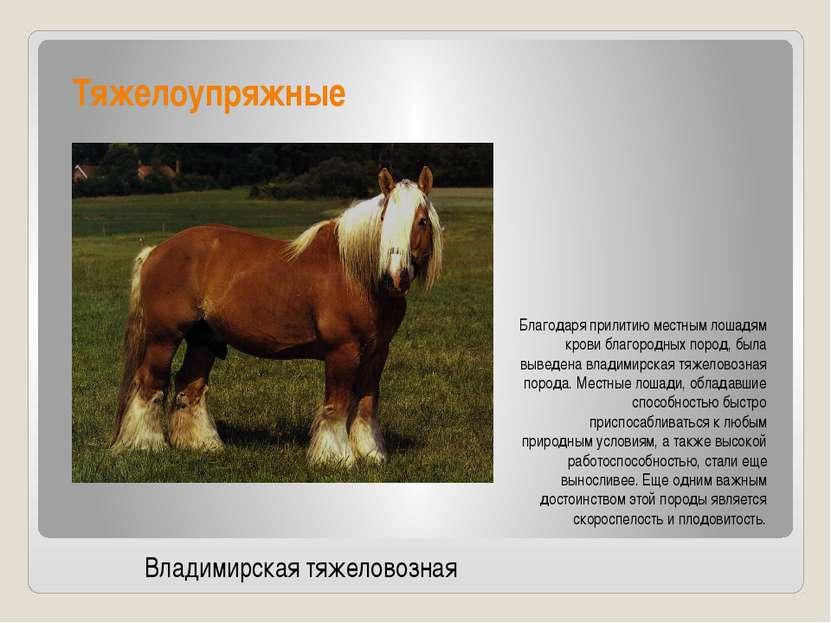 Тяжелоупряжные Благодаря прилитию местным лошадям крови благородных пород, бы...