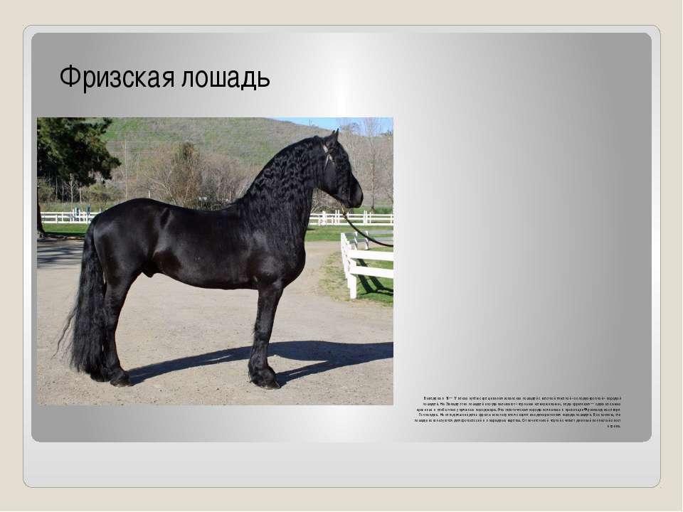 Выведена в 16—17 веках путём скрещивания испанских лошадей с местной тяжелой ...