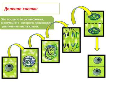 Это процесс ее размножения, в результате которого происходит увеличение числа...