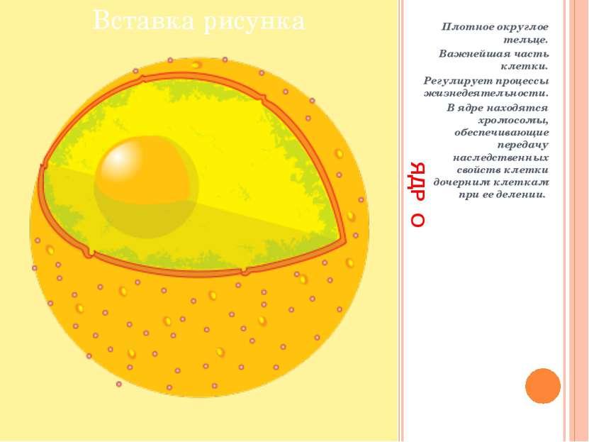 ЯДР О Плотное округлое тельце. Важнейшая часть клетки. Регулирует процессы жи...