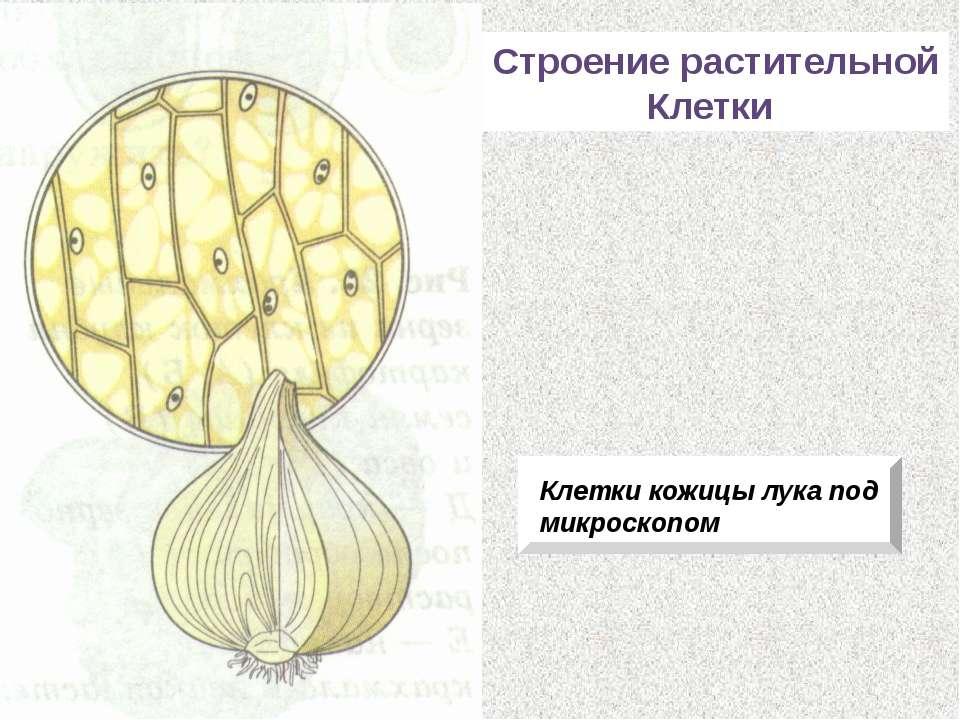 Строение растительной Клетки Клетки кожицы лука под микроскопом