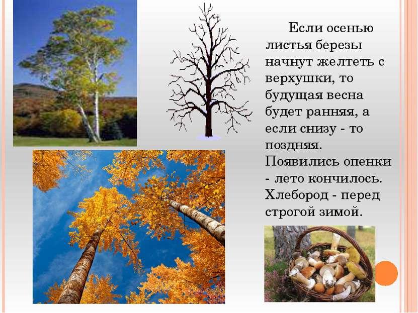 Если осенью листья березы начнут желтеть с верхушки, то будущая весна будет р...