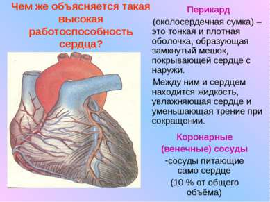 Чем же объясняется такая высокая работоспособность сердца? Перикард (околосер...