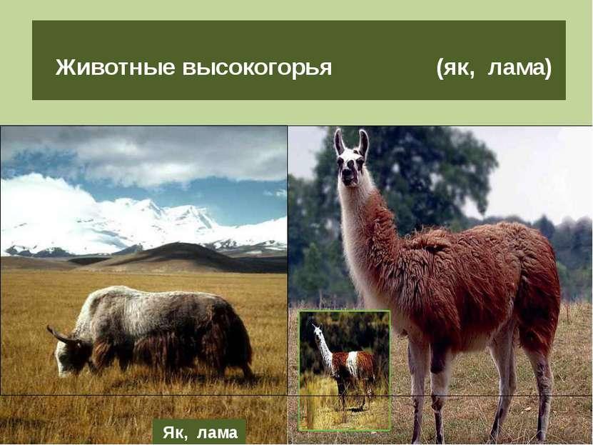 Животные высокогорья (як, лама) Як, лама