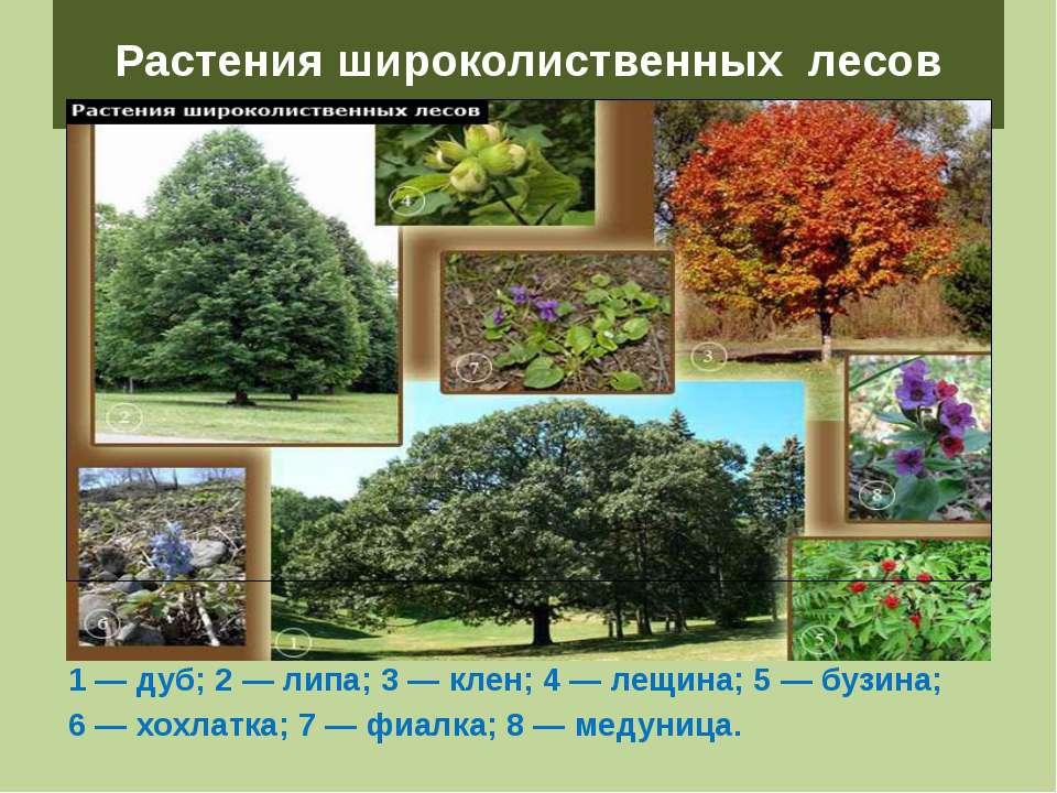 Растения широколиственных лесов 1 — дуб; 2 — липа; 3 — клен; 4 — лещина; 5 — ...