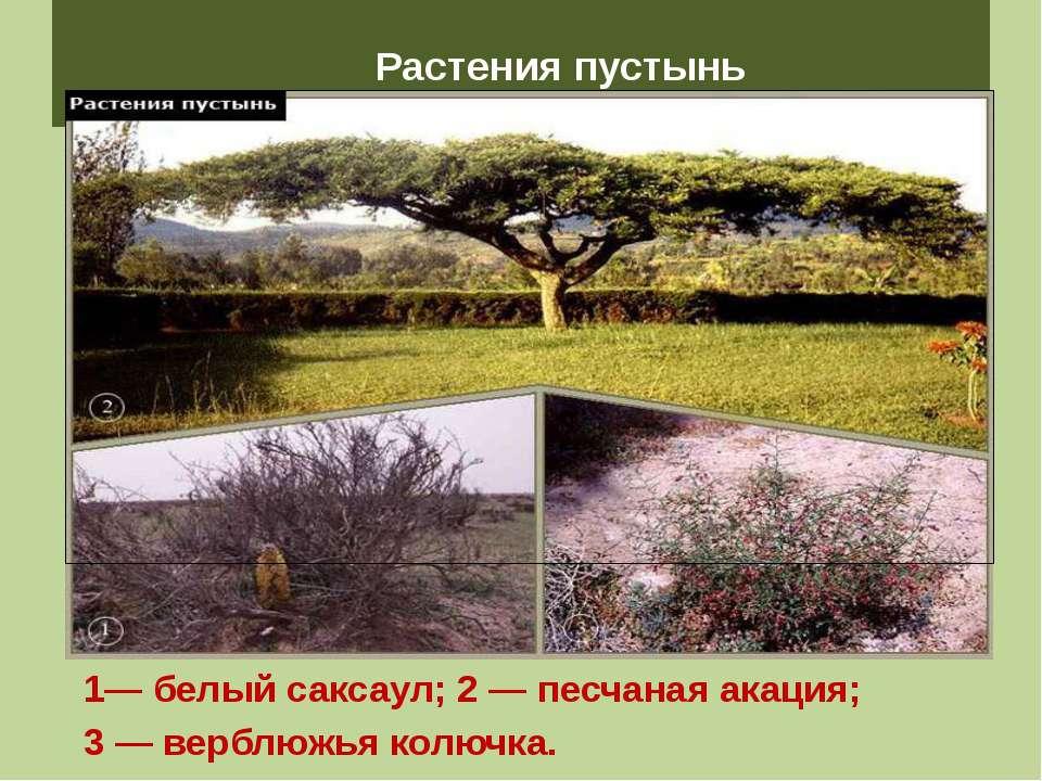 Растения пустынь 1— белый саксаул; 2 — песчаная акация; 3 — верблюжья колючка.