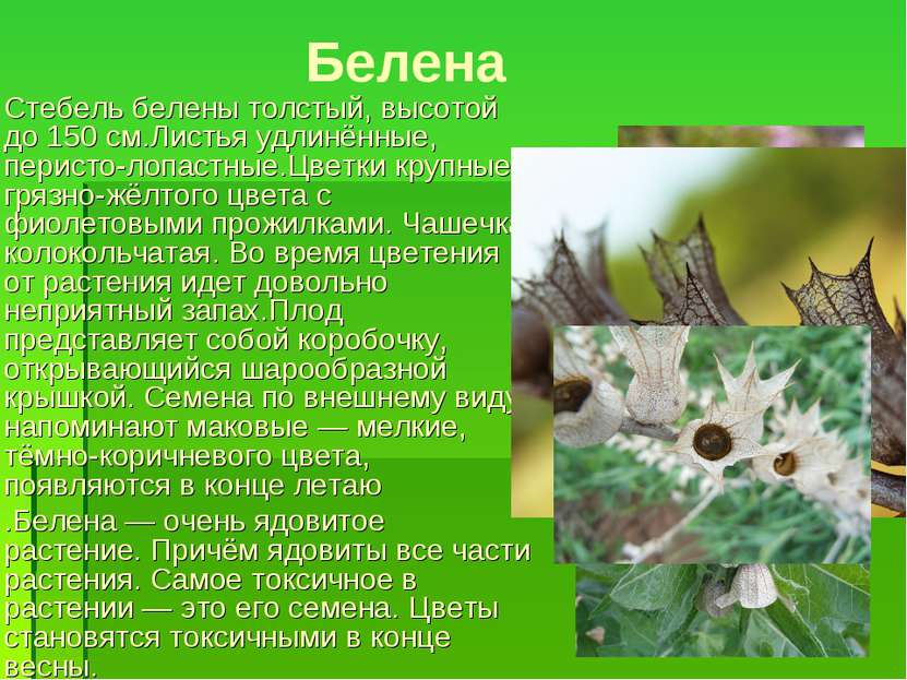 Белена Стебель белены толстый, высотой до 150см.Листья удлинённые, перисто-л...