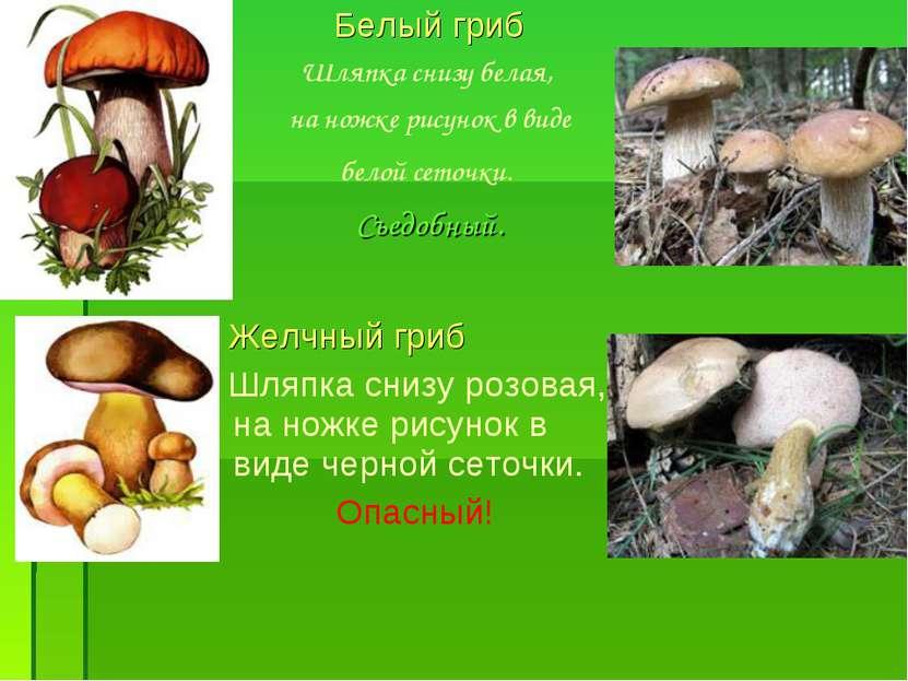Белый гриб Шляпка снизу белая, на ножке рисунок в виде белой сеточки. Съедобн...