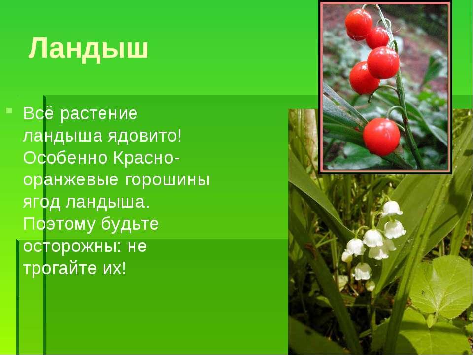 Ландыш Всё растение ландыша ядовито! Особенно Красно-оранжевые горошины ягод ...
