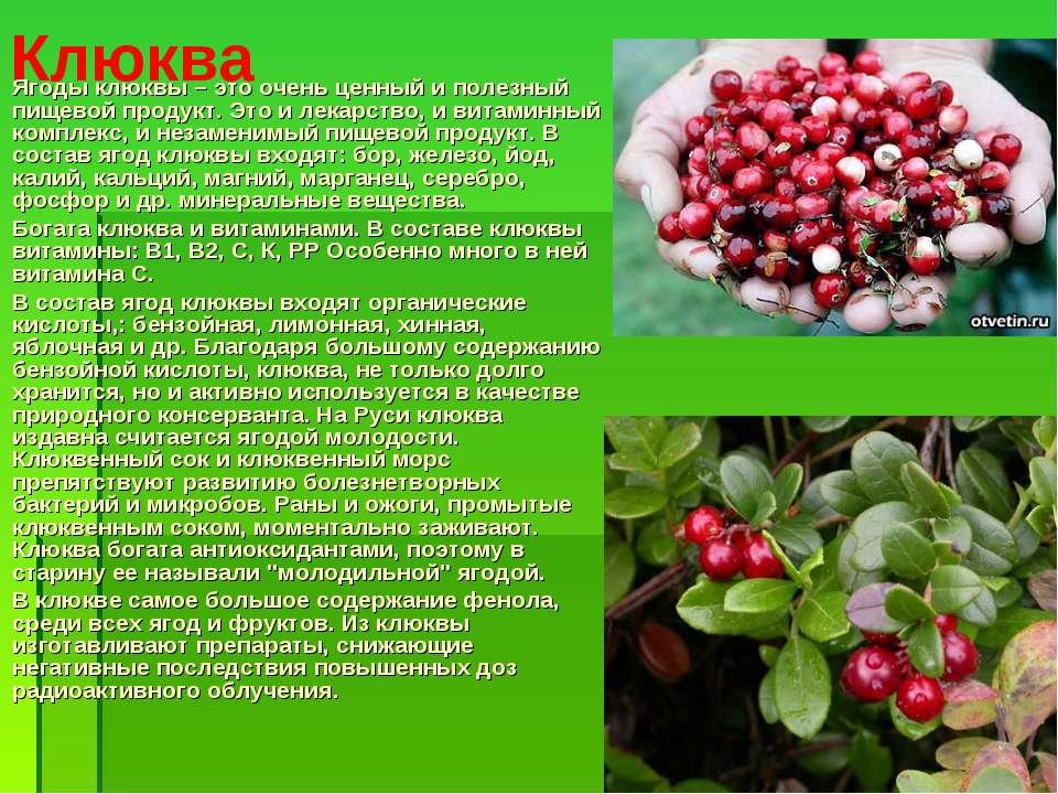 Клюква Ягоды клюквы – это очень ценный и полезный пищевой продукт. Это и лека...