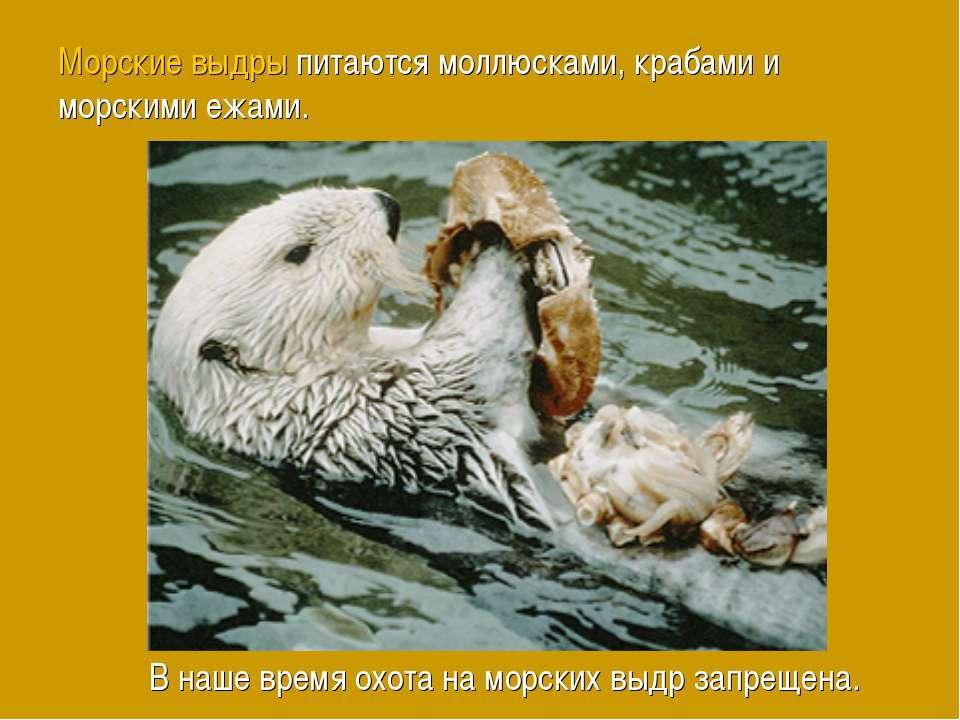Морские выдры питаются моллюсками, крабами и морскими ежами. В наше время охо...