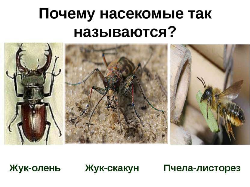 Почему насекомые так называются? Жук-олень Жук-скакун Пчела-листорез