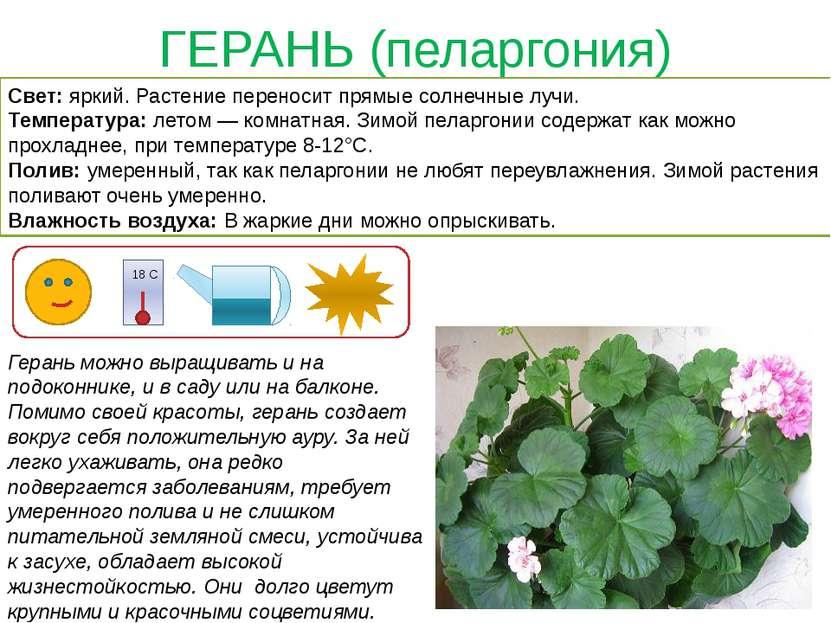 ГЕРАНЬ (пеларгония)