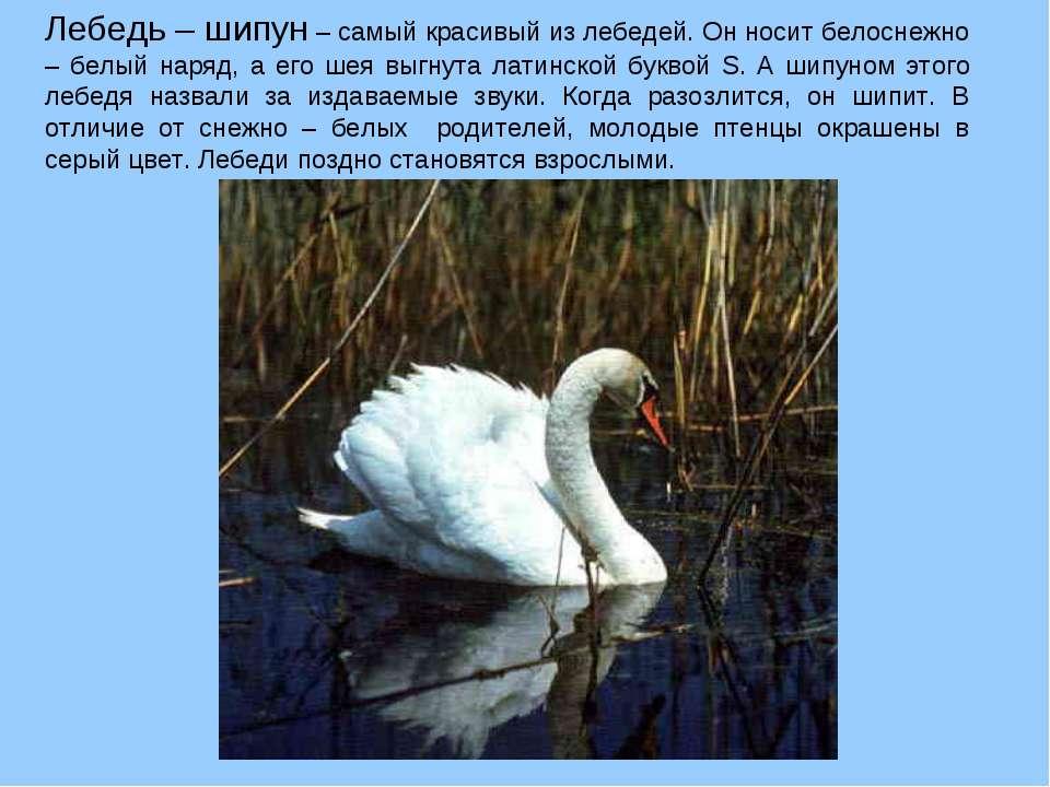 Лебедь – шипун – самый красивый из лебедей. Он носит белоснежно – белый наряд...