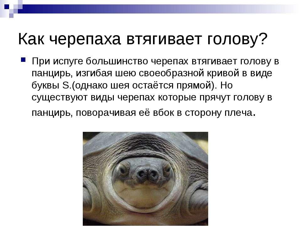 Как черепаха втягивает голову? При испуге большинство черепах втягивает голов...