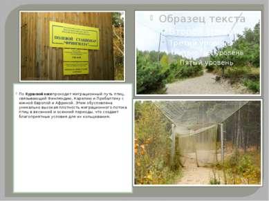 ПоКуршской косепроходит миграционный путь птиц, связывающий Финляндию, Каре...