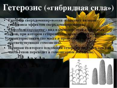 Гетерозис («гибридная сила») Гипотеза сверхдоминирования объясняет явление ге...