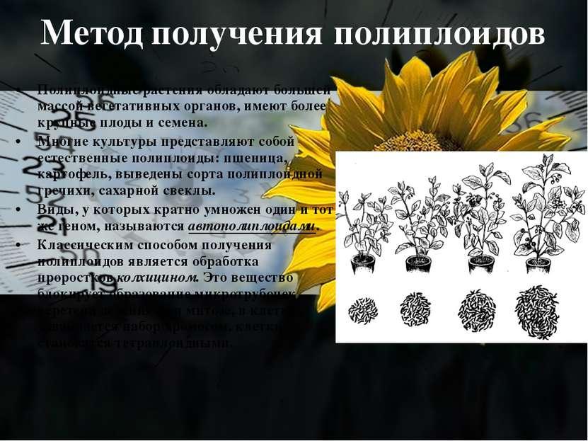 Метод получения полиплоидов Полиплоидные растения обладают большей массой вег...