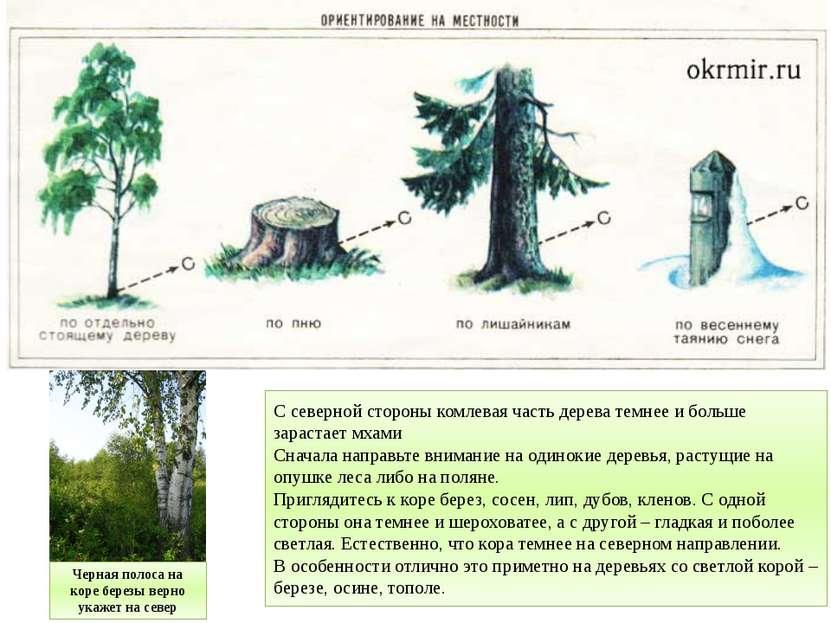 С северной стороны комлевая часть дерева темнее и больше зарастает мхами Снач...