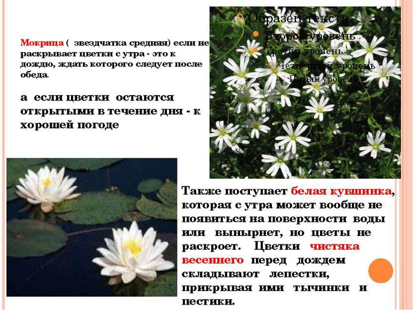 Мокрица ( звездчатка средняя) если не раскрывает цветки с утра - это к дождю,...