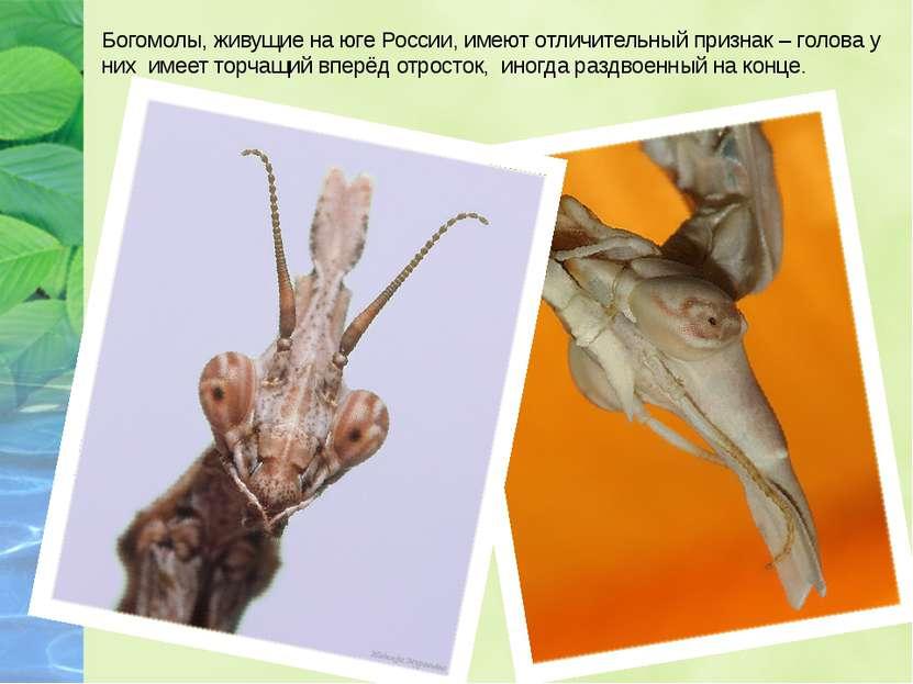 Богомолы, живущие на юге России, имеют отличительный признак – голова у них и...