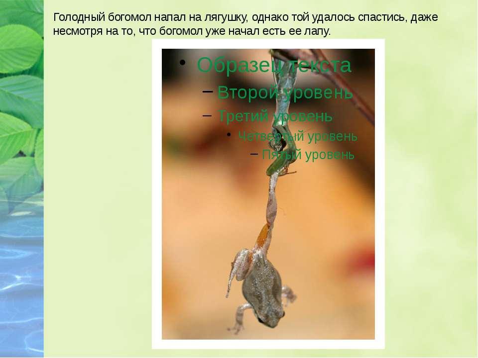 Голодный богомол напал на лягушку, однако той удалось спастись, даже несмотря...