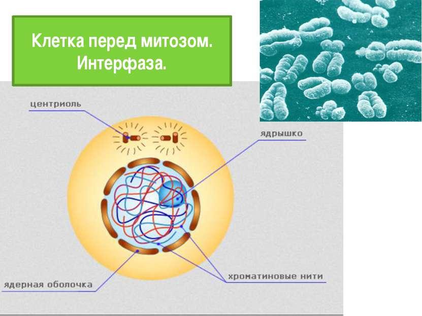 Клетка перед митозом. Интерфаза.