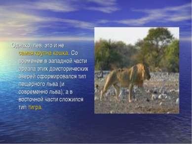 Однако, лев, это и не самая крупна кошка. Со временем в западной части ареала...
