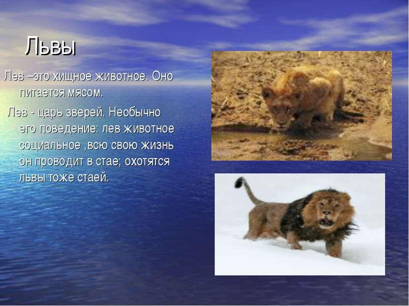 Львы Лев –это хищное животное. Оно питается мясом. Лев - царь зверей. Необыч...
