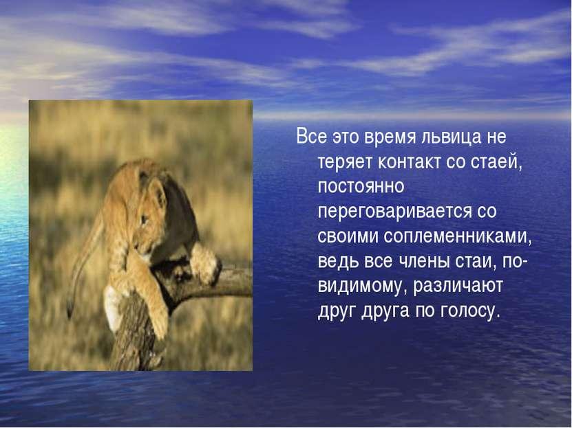 Все это время львица не теряет контакт со стаей, постоянно переговаривается с...