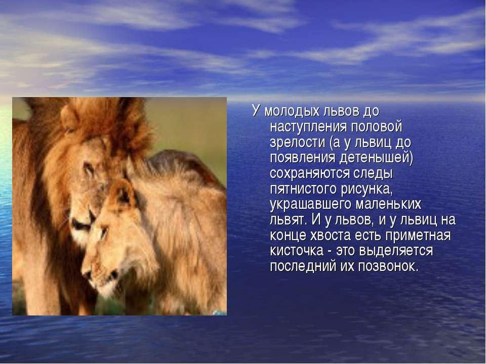 У молодых львов до наступления половой зрелости (а у львиц до появления детен...