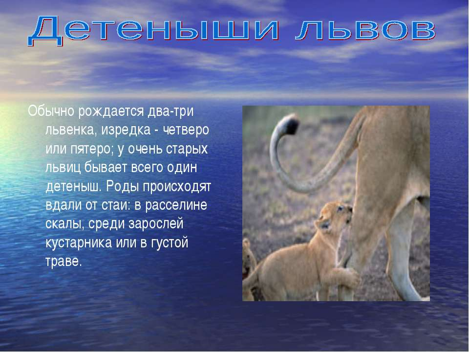 Обычно рождается два-три львенка, изредка - четверо или пятеро; у очень стары...
