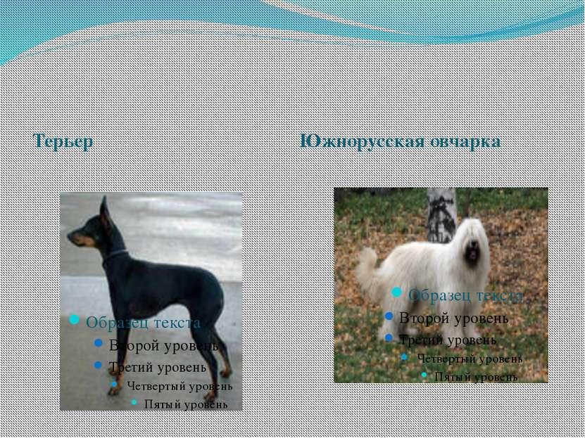 Терьер Южнорусская овчарка