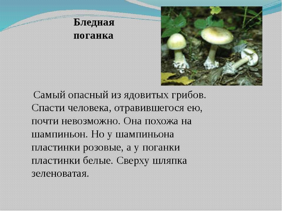 Самый опасный из ядовитых грибов. Спасти человека, отравившегося ею, почти не...