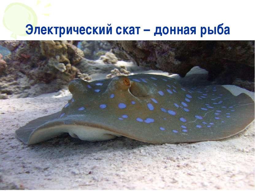 Электрический скат – донная рыба