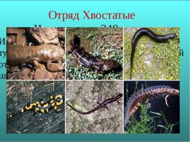 Отряд Хвостатые Насчитывает 340 видов Имеют удлиненное, переходящее в хвост т...