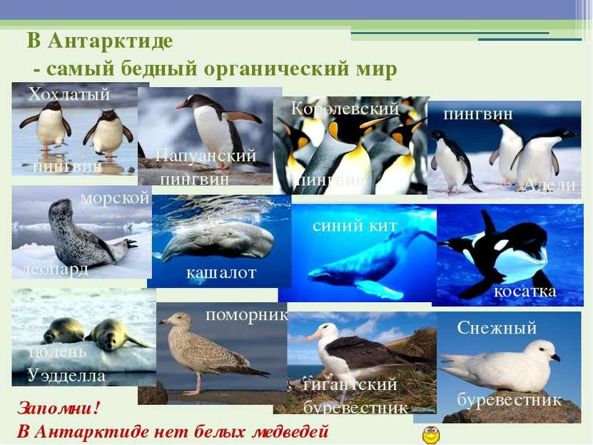 Запомни! В Антарктиде нет белых медведей Хохлатый пингвин Папуанский пингвин ...